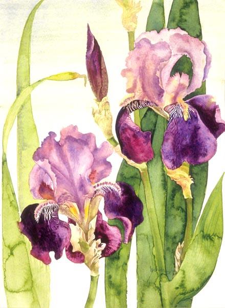 Iris by Lucinda Hayes